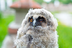 猫头鹰的画象 免版税库存图片