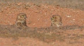 猫头鹰的/鸟 免版税库存照片