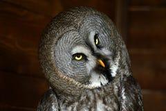 猫头鹰看看我与惊奇面孔,在雨开始前 免版税库存图片