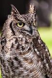 猫头鹰眼睛 库存图片