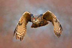 猫头鹰秋家蝇  在冷的冬天期间,与开放翼的飞行欧亚欧洲产之大雕有雪剥落的在多雪的森林里 行动野生生物sce 免版税库存图片