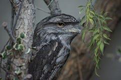 猫头鹰纵向坐的结构树 库存照片