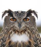 猫头鹰纵向 免版税图库摄影