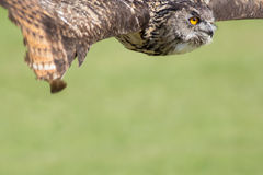 猫头鹰飞行 鸷与拷贝空间的海报或横幅图象 库存图片