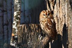 猫头鹰黄褐色 免版税图库摄影