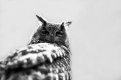 猫头鹰,关闭 免版税库存照片