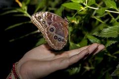 猫头鹰蝴蝶和人手 免版税库存图片