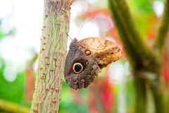 猫头鹰蝴蝶在自然环境里 图库摄影