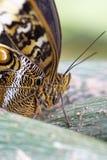 猫头鹰蝴蝶的头 图库摄影