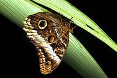 猫头鹰蝴蝶 库存图片