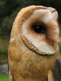 猫头鹰画象-晨曲种类的Tyto 库存图片
