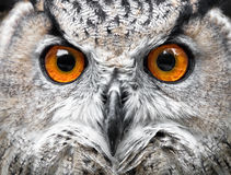 猫头鹰画象 猫头鹰眼睛 库存图片