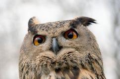 猫头鹰 免版税库存图片