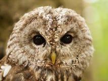 猫头鹰类aluco -幼小棕色猫头鹰的面孔 免版税库存图片