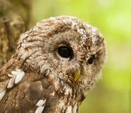 猫头鹰类aluco -幼小棕色猫头鹰的面孔 免版税库存照片