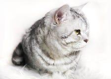 猫黄鼠镶边平纹外形 一只猫的画象与g的 图库摄影