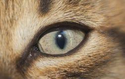 猫` s眼睛特写镜头,特写镜头 小猫调查透镜 免版税库存照片