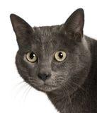 猫chartreux关闭 图库摄影