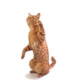 猫isloated橙色平纹 免版税库存图片
