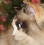 猫josie 免版税图库摄影