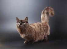 猫munchkin 库存照片