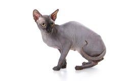 猫sphynx 免版税库存图片
