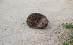 猬动物在我们的公园区域 库存图片