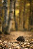 猬在秋天森林里 库存照片