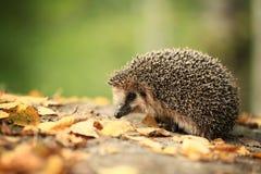 猬在秋天森林里 免版税库存照片