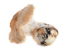 猬蘑菇 图库摄影