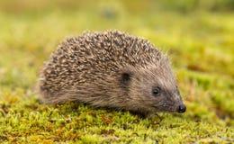 猬,当地人,在鲜绿色的青苔的野生英国猬 库存照片