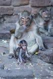 猴子、小猴子和母亲胡闹坐和吃someth 免版税库存照片