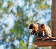 猴子二 免版税库存图片