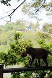 猴子从自然的狩猎食物 图库摄影