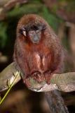 猴子伶猴 免版税库存图片