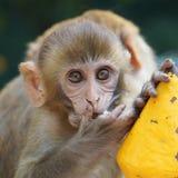 猴子加德满都 免版税库存图片