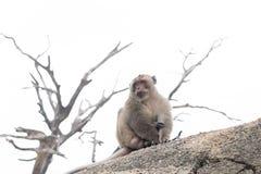 猴子单独坐 免版税库存照片