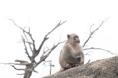 猴子单独坐 图库摄影