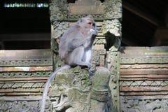 猴子吃 免版税库存图片