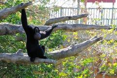 猴子呼喊 免版税库存照片
