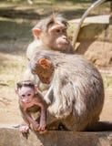猴子和它的家庭 库存照片
