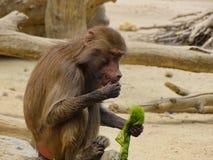 猴子在动物园里吃海草在奥格斯堡 免版税库存图片