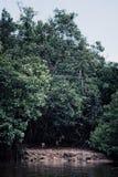 猴子在婆罗洲的沼泽的地区的岸附近会集 免版税库存图片