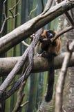 猴子在密林 图库摄影