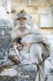 猴子在巴厘岛印度尼西亚 图库摄影