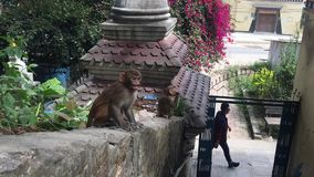 猴子在市加德满都 股票录像