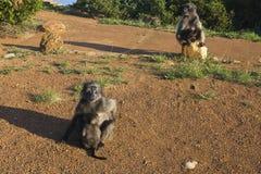 猴子在开普敦怎么坐石头 免版税库存图片