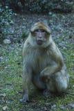 猴子在摩洛哥 库存照片