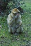 猴子在摩洛哥 免版税库存照片