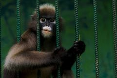 猴子在钢笼子被困住并且陈列人类惨暴  免版税库存图片